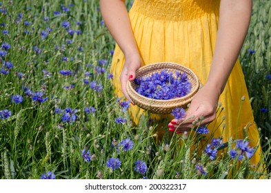 farm woman girl in yellow dress hands with red nails pick blue cornflower flowers herb to wicker dish in agriculture field.
