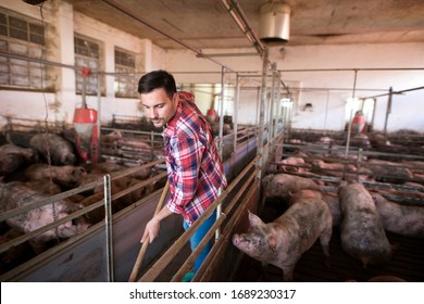 Farm worker cleaning and keeping pigpen and pigs clean. Farm hygiene and good care of domestic animals.