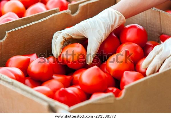 Farm worker hand  with protection gloves placing tomatoes in box for sale