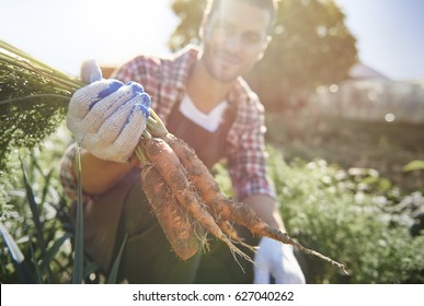 Farm worker harvesting ripe carrots
