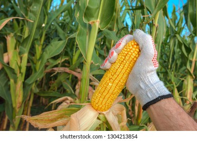 Farm worker picking corn on the cob in cultivated field