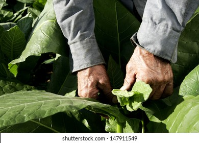 Farm Worker picking tobacco leaves