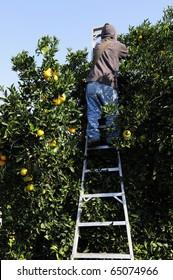 Farm worker picks oranges in Central California grove