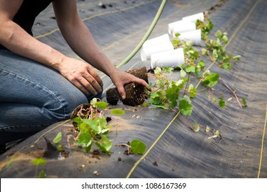 Farm worker preparing and transplanting organic new cubios plants using a black plastic  Tropaeolum tuberosum
