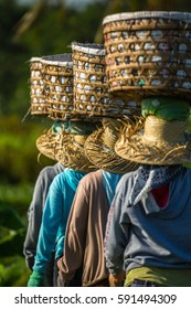 Farm workers in Asia balancing baskets on their heads
