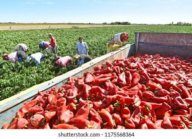 Farm Workers Harvesting Red Bell Pepper near town Zabalj in Serbia. Seasonal harvest of vegetables in the countryside. Zabalj,Serbia,Vojvodina 08.September 2017