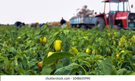 Farm Workers Harvesting Yellow Bell Pepper. Group of workers picking bell pepper at the plantation beside tractor. Seasonal harvest of vegetables in the countryside.