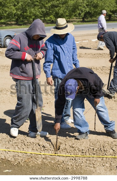 Farm workers plant grapes in new California vineyard