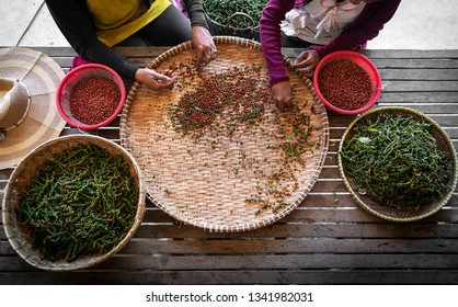 farm workers sorting and selecting fresh pepper peppercorns on plantation in kampot cambodia