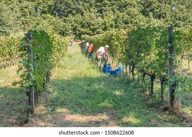 Farm workers in the vineyard rows harvesting bunches of black grapes