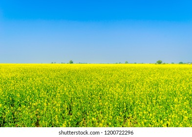 Farm with yellow mustard flowers blooming