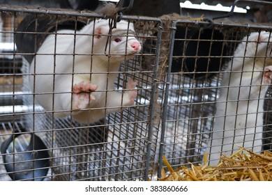 Farmed American Mink