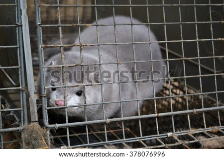 Farmed Mink