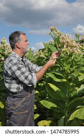 Farmer or agronomist examine blossoming tobacco plant in field