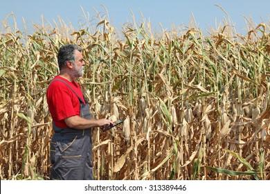 Farmer or agronomist examine corn plant in field using tablet, harvest time