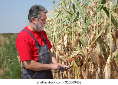 Farmer or agronomist examine damaged corn plant in field using tablet, harvest time