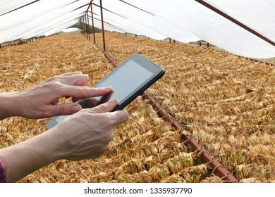Farmer or agronomist examine tobacco drying in tent using tablet