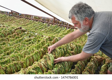 Farmer or agronomist examine tobacco drying in tent, touching leaves