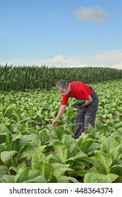 Farmer or agronomist examine tobacco plant  field in early summer