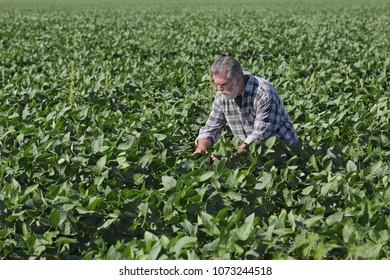 Farmer or agronomist examining green soy bean plants in field