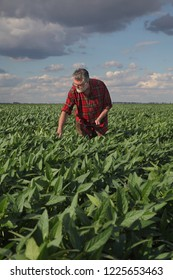 Farmer or agronomist examining green soybean plant in field