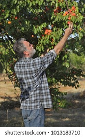 Farmer or agronomist examining and picking apricot fruit from tree in orchard