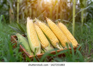 Farmer agronomist holding corn ear on the cob Ripe maize ready for harvest A selective focus picture of corn cob in a cornfield