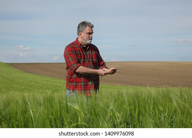 Farmer or agronomist inspect quality of green wheat crop in field, agriculture in spring time