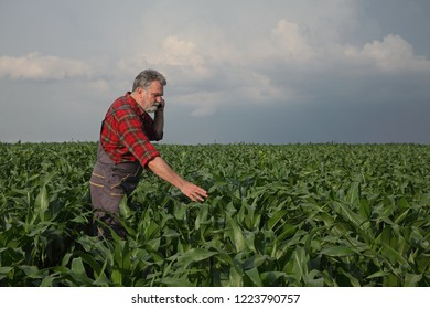 Farmer or agronomist  inspecting quality of corn plants in field speaking by mobile phone and touching plants
