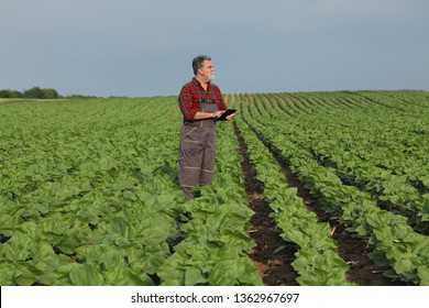 Farmer or agronomist inspecting quality of green sunflower field in spring using tablet