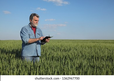 Farmer or agronomist inspecting quality of green wheat field in spring using tablet
