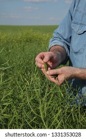 Farmer or agronomist showing green oil rape crop, pod in his hand, and examining it