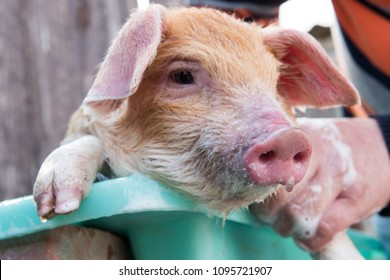 Farmer bathes red pig in sink with foam before selling it on market. Daughter pours water from yellow garden watering can. Copy space. Selective focus