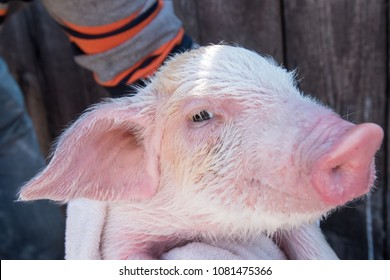 Farmer bathes small pig in the sink with foam before selling it on the market. White pig is wrapped in a towel. Snout close-up. Copy space