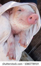 Farmer bathes small piglet in sink with foam before selling it on market. White swine is wrapped in towel. Pig's snout. Hands of man in pink rubber gloves close-up. Copy space