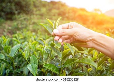 The farmer beautiful people form indian Asian woman working and  picking tea leaf in farm tea plantation agriculture. Girl fresh nature  background