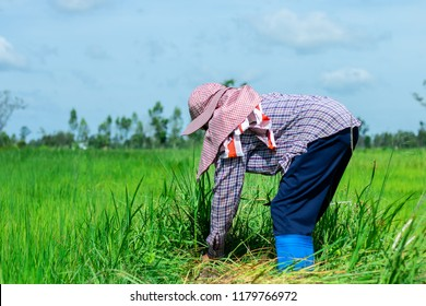 A farmer is bending down to remove weed grass. In the rice field of Thailand.