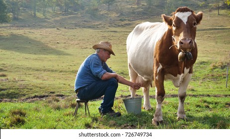 A farmer breeds and cows his cow in nature according to ancient traditions. The breeder feels every morning to have fresh milk and excellent quality. Concept of: breeding, love for animals, tradition