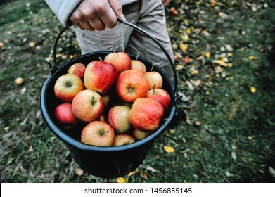 Farmer with a bucket filled with organic apples. Picking organic apples from an apple tree in garden at harvest time. Apple picking in orchard.