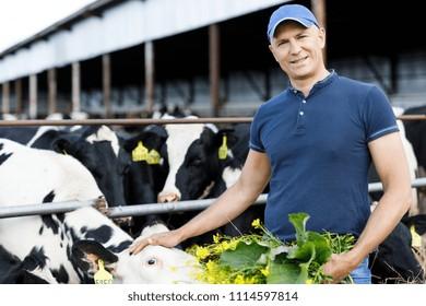 farmer carefully feeds cows with fresh grass