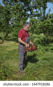 Farmer carry crate full of fresh apricot fruit in orchard