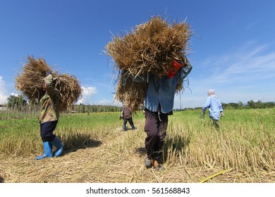 farmer is carrying a sheaf of rice on his back after the rice harvest on a field