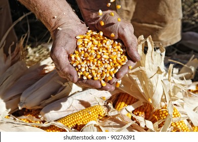A farmer catches seed corn in his hands over ears of corn on the ground at his feet during harvest season.