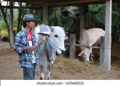 farmer cattle person with cow. yogyakata indonesia. august 5, 2019.