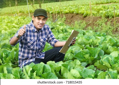 farmer checking and controlling on cabbage vegetable field