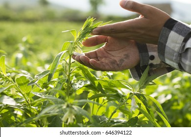 Farmer checking healthy of crop plant by hand at farm field