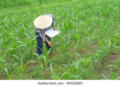 Farmer checking his cornfield