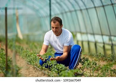 Farmer checking his tomato plants in the greenhouse