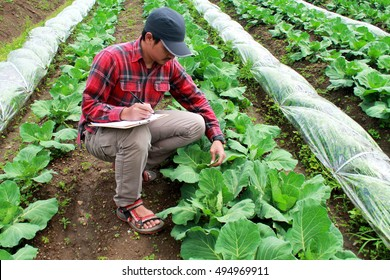 farmer checking on cabbage field