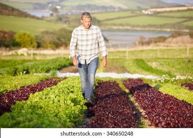 Farmer Checking Organic Salad Leaves On Farm